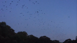 Bats flying out at sunset from our local colony.