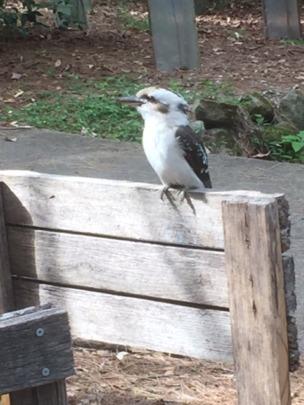 and kookaburras too