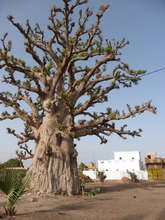 Magnificent baobab tree close by...