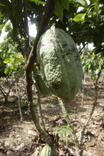 A Cacao Plant Getting Ready For Harvest