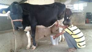 Our cow's milk is calci-yummy