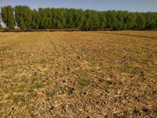 wheat crop grown