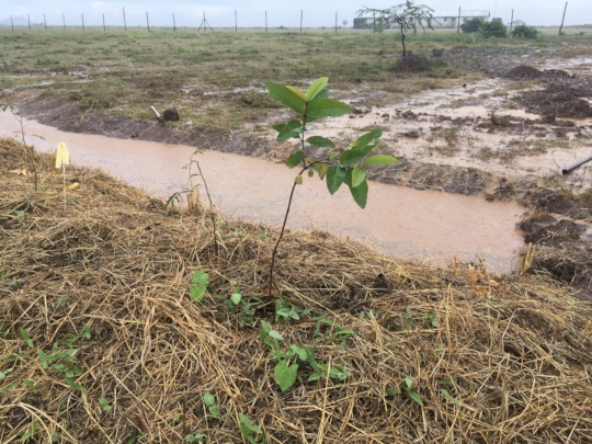 Freshly planted tree and water catchment