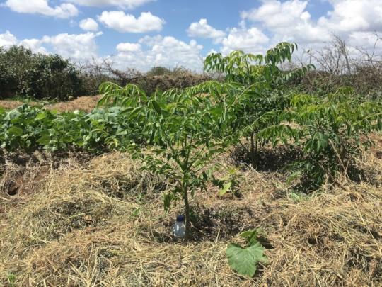 Naisherua's Trees