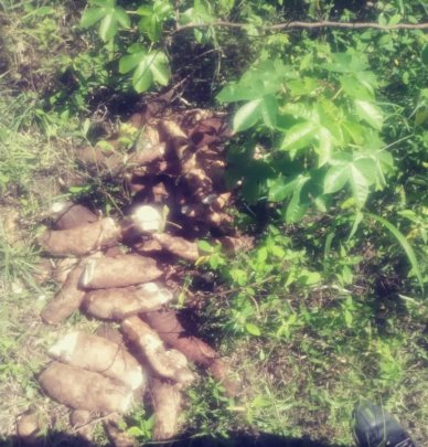 Harvesting cassava