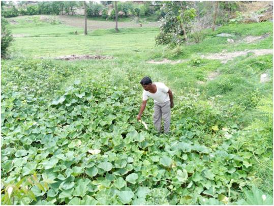 Narayan in his Bottle Gourd Farm