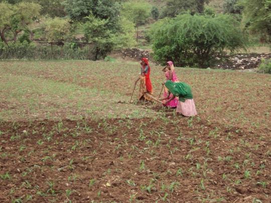 Women farmer growing ginger crop