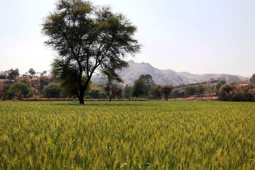 Flourished wheat farm