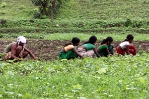 Tribal farmers working in field during monsoon