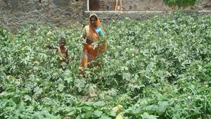 Lady picking okra from her farm