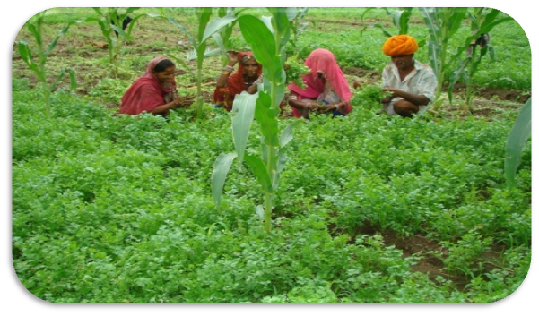 Nahar and his family cultivating coriander leaves