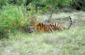Help the tiger Tikhon back to nature