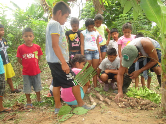 Showing the harvest of yuca and platano (banana)