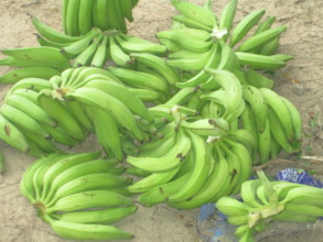 Banana harvest from Santa Clara