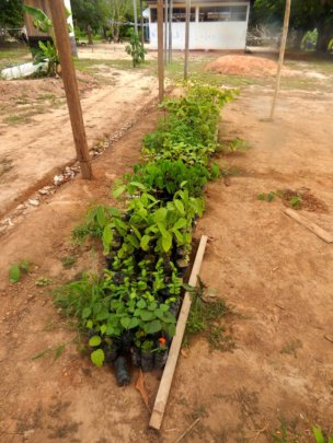 Small trees ready to be planted for reforestation