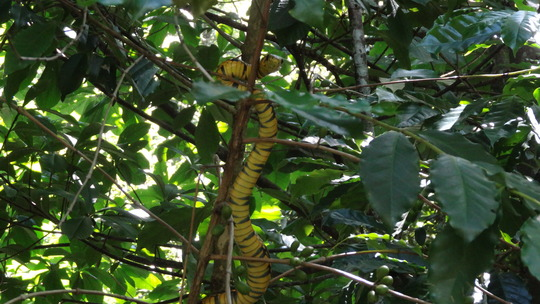 Young Spilotes pullatus, Tropical Rat Snake.