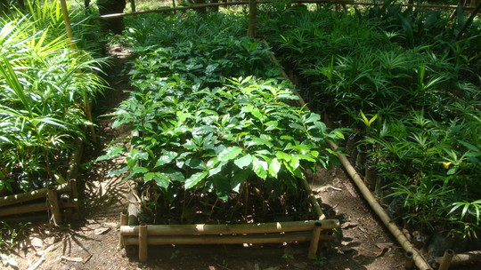 Coffee seedling for agroforestry plantation.
