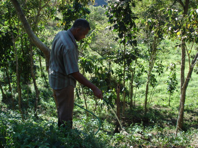 Watering coffee plant