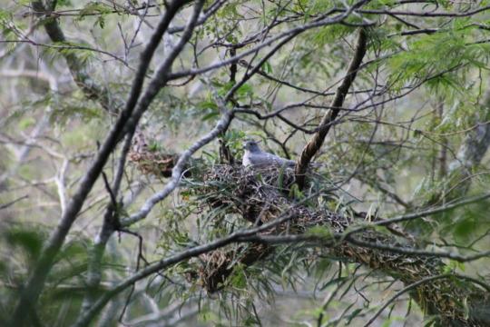 Rufous-thighed Kite nesting.
