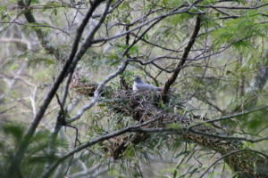Rufous-thighed Kite nesting.