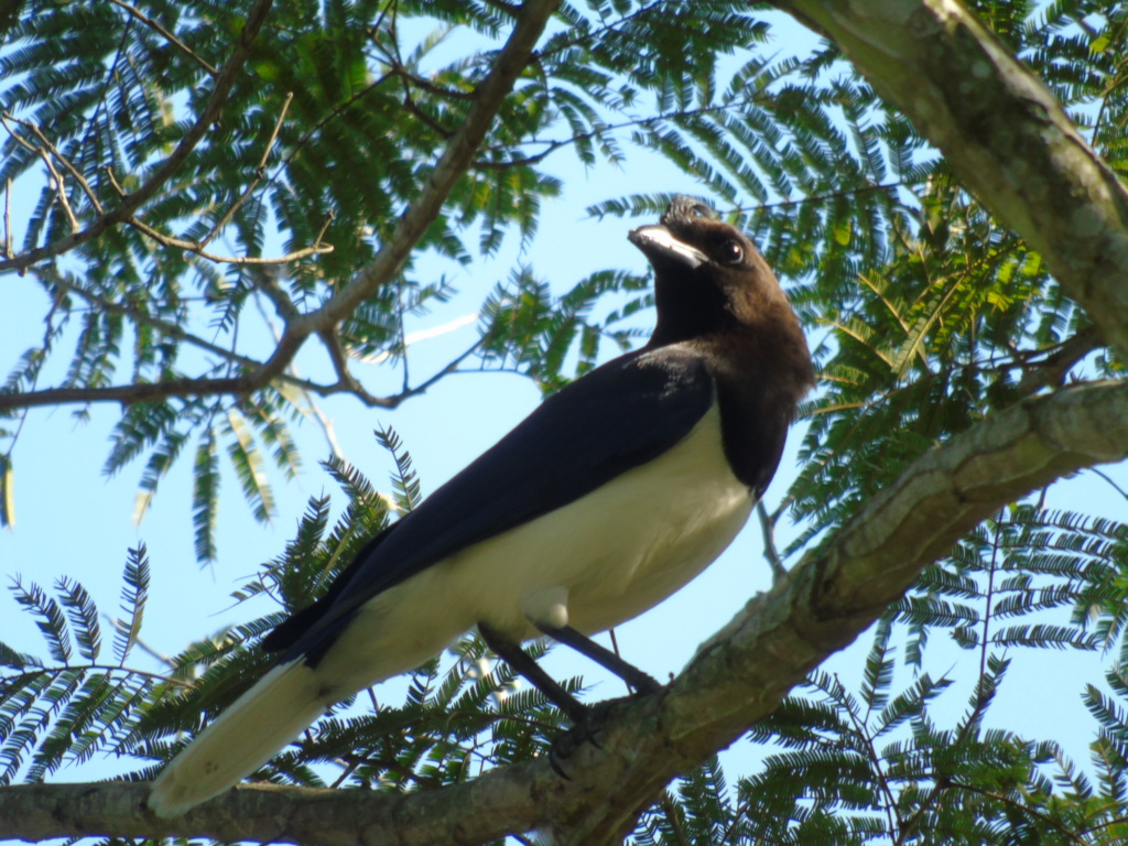 Curl-crested Jay.