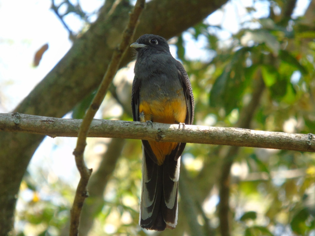 Surucua Trogon. Female.
