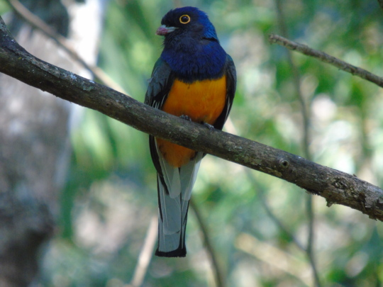 Surucua Trogon. Male.