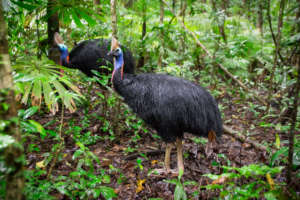Southern Cassowary in Daintree (c) Martin Stringer