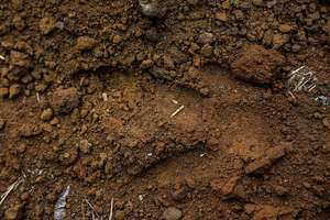 Cassowary footprint