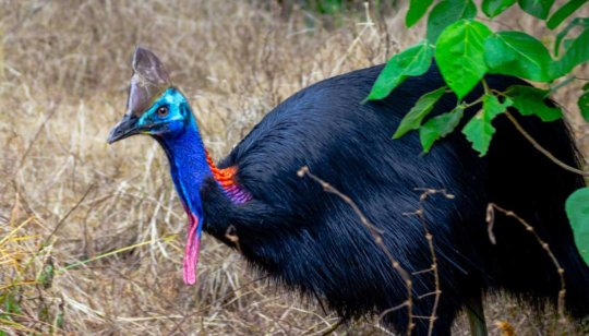 Cassowary at Lot 46