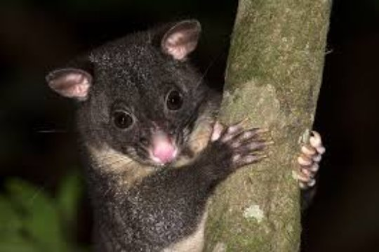 Cinereus Ringtail Possum