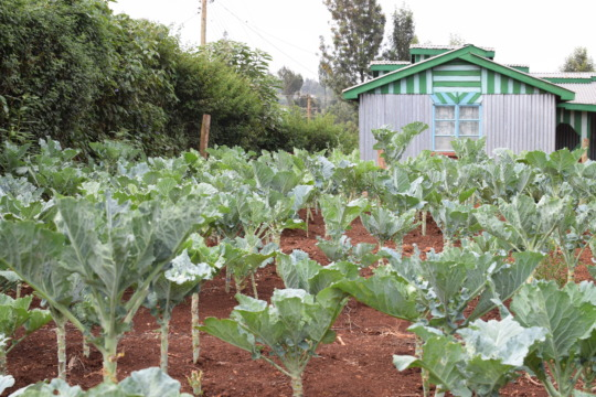 """One of our farmers growing """"sukumu wiki"""" (kale)"""