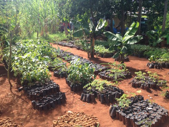 Some grafted mango seedlings waiting to be planted