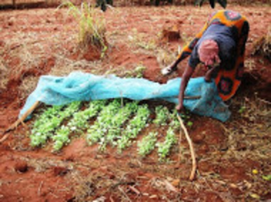 A Tawa woman tends her vegetable nursery