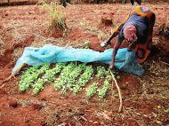 A Tawa woman tends her vegetable nursery