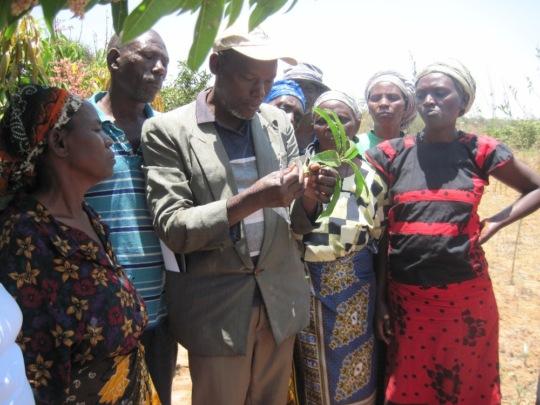 Farmers choose mango scions for grafting