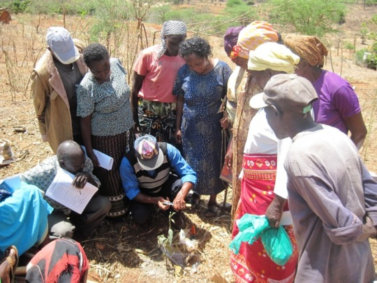 Farmers learn to graft mangoes