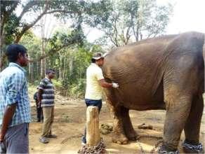 Examination of a captive Elephant by Veterinarian