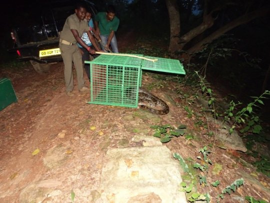Python being released after rescue
