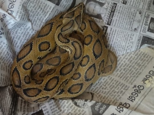 Russell's Viper Rescued
