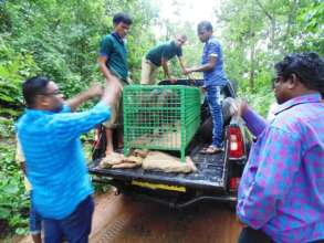 Shows preparing for Release of Wild Boar
