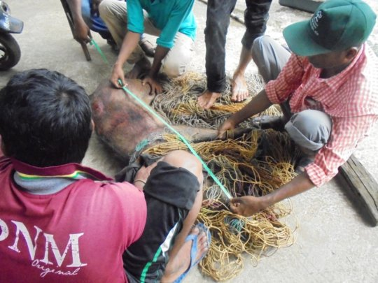 measurement of Injured Boar at Pithabata Range