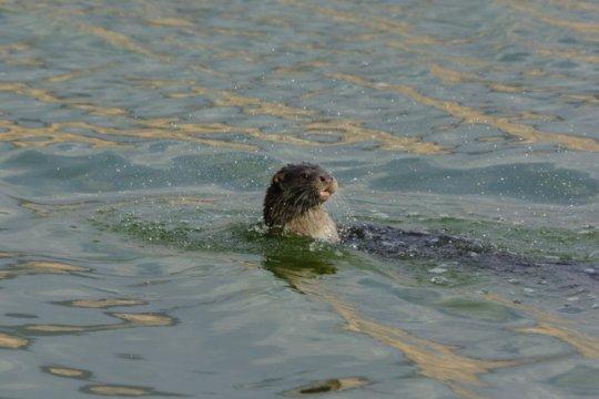 An otter in Hula Valley (Photo: Uriya Sadeh)