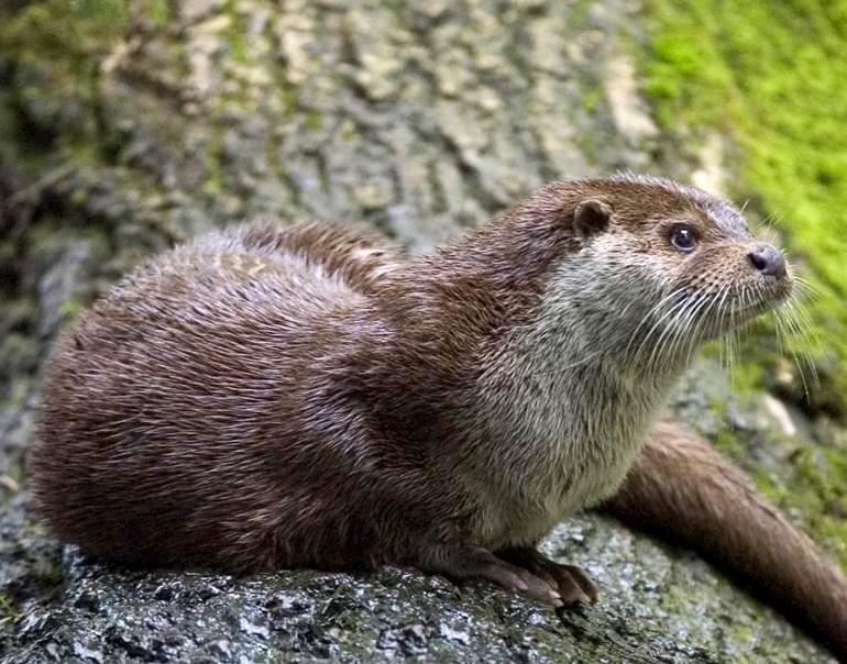 Saving Israel's Otters