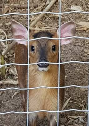 The new Chinese Muntjac baby