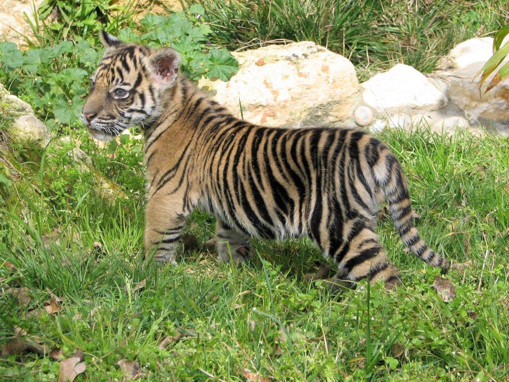 A tiger cub previously born at the Jerusalem Zoo