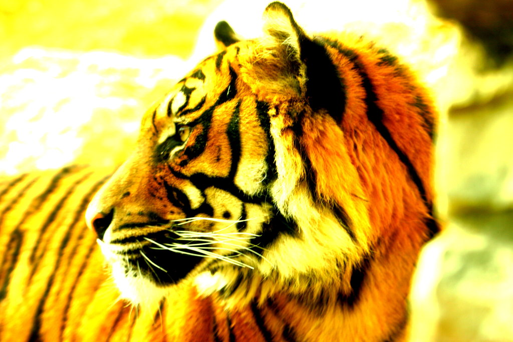 Help Save the Sumatran Tiger