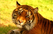 Help Save the Sumatran Tiger