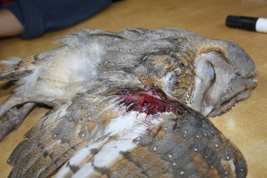 Barn owl being treated for a fracture