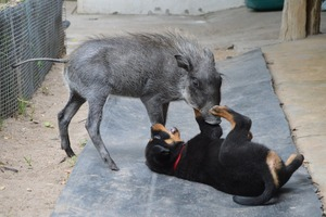 Piggy playing with Nikita